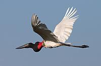 The Pantanal's tallest flying bird is the Jabiru stork.