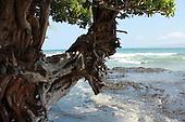 Knurled Tree, Churning Sea