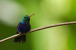 Violet-bellied Hummingbird (Juliamyia julie) male, Panama Rainforest Discovery Center, Gamboa, Panama