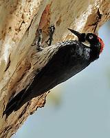 Acorn Woodpecker, Southeastern Arizona