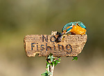 A mischievous kingfisher points passersby in the wrong direction as they try to reach a river.  With its wing outstretched, the colourful bird appears to be misdirecting walkers as it preens itself on the top of a 'River Stour' sign.<br /> <br /> Another rebel kingfisher blatantly ignores the rules as it eats a bullhead fish whilst standing atop a 'No Fishing' sign.  Photographer Dean Mason pictured the cheeky kingfishers by the River Stour near Wimborne Minster, Dorset.  SEE OUR COPY FOR DETAILS.<br /> <br /> Please byline: Dean Mason/Solent News<br /> <br /> © Dean Mason/Solent News & Photo Agency<br /> UK +44 (0) 2380 458800
