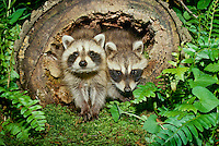 two baby raccoons crawl from log and nap into the ferns, Midwest USA