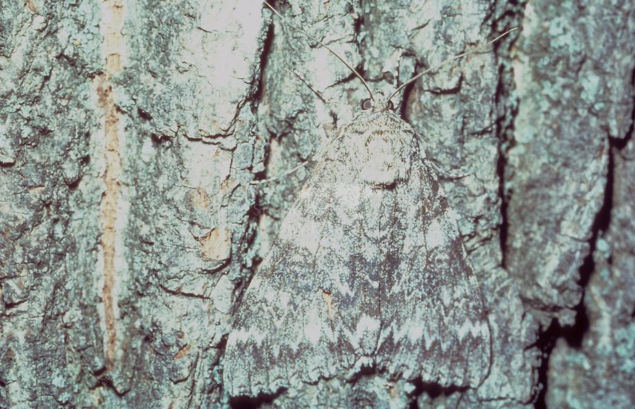 Rood weeskind (Catocala nupta)