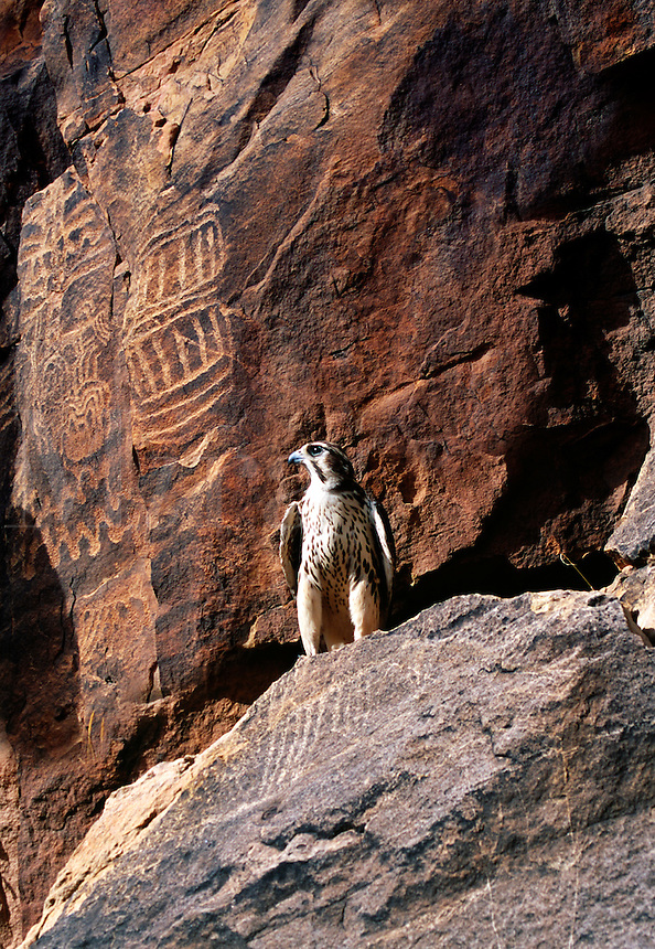 Prairie Falcon perched on a rock with replicated petroglyphs in the background.