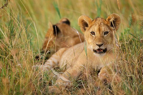 African lion (Panthera leo) cub, Masai Mara National Reserve, Kenya.