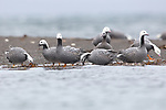 Emperor Geese at Izembek NWR, Alaska. Izembek supports more than half of all the Emperor Geese in the world, as well globally significant populations of Steller's Eider and Taverner's Cackling Goose.