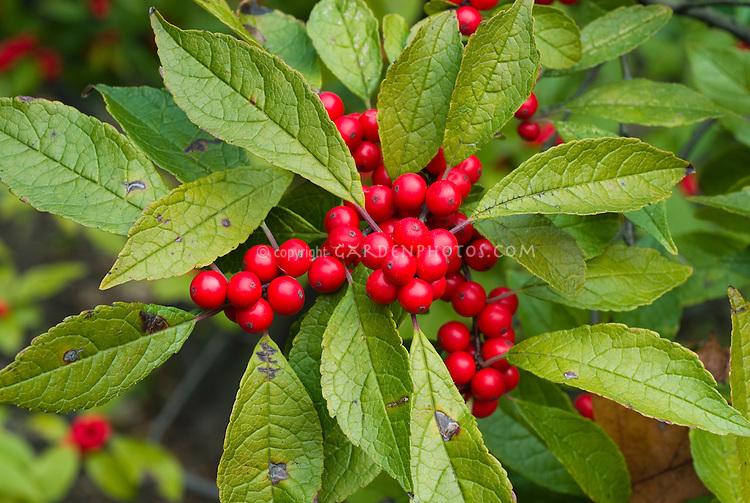 Ilex verticillata Winterberry in red berries berry fruits