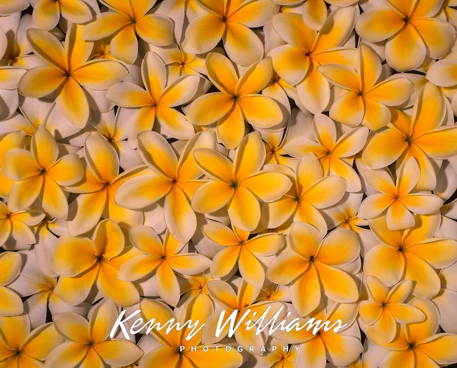 Yellow Plumeria Flowers, Hawaii, USA.