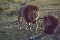 Okavango Delta_lions