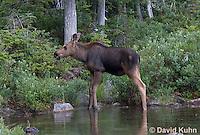 0622-1005  Eastern Moose Calf, Alces alces americana  © David Kuhn/Dwight Kuhn Photography