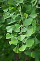 Foliage of Gingko biloba (Maidenhair tree), mid May.