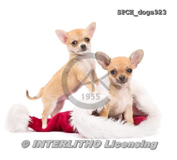 Xavier, CHRISTMAS ANIMALS, WEIHNACHTEN TIERE, NAVIDAD ANIMALES, photos+++++,SPCHDOGS923,#XA# dogs santas cap