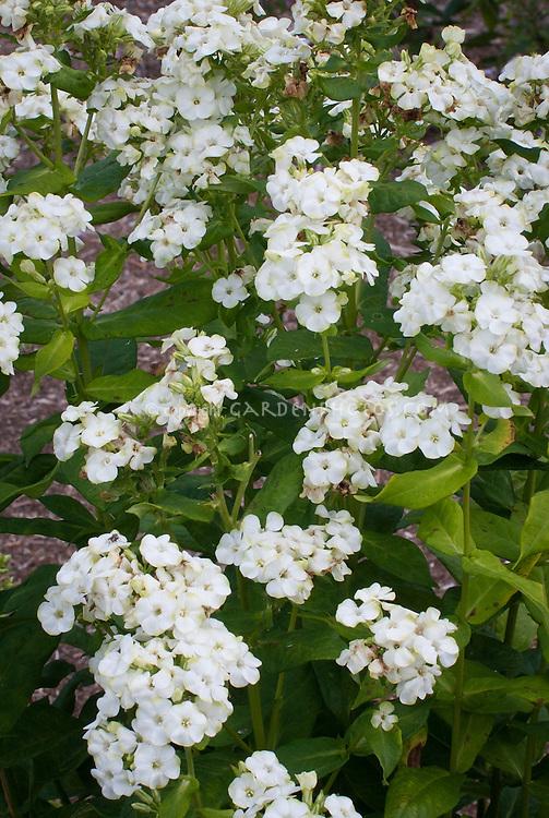 Phlox paniculata 'Jade' (19) white flowers with green tips