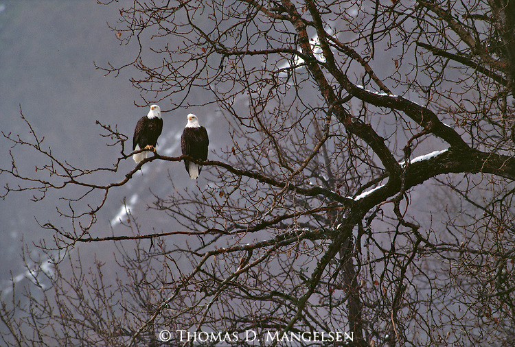 A pair of bald eagles perched in a tree in Haines, Alaska