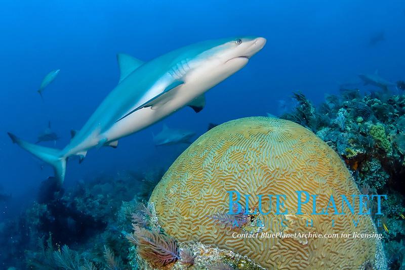 Caribbean reef shark, Carcharhinus pereziii, swimming over large brain coral, Bahamas Bank, Bahamas, Atlantic.