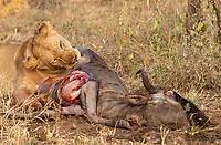 A female Lion, Panthera leo melanochaita, eats a Wildebeest, Connochaetes taurinus, in Serengeti National Park, Tanzania