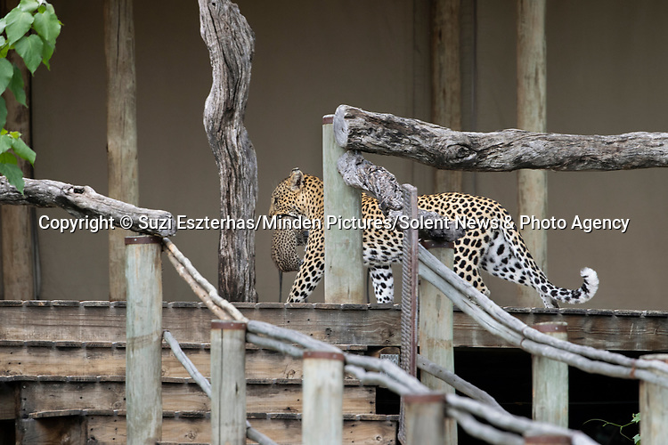 Pictured:  The leopard mother carrying her cub on boardwalk, Tubu Tree Camp, Jao Reserve, Botswana<br /> <br /> A protective leopard hides her young cub in a lodge before going off to hunt.  The mother keeps her offspring safe from predators by leaving the cub in the camp shelter.<br /> <br /> She tucks the two week old cub in a den-like spot behind the sink before scouring the area for food.  Photographer Suzi Eszterhas spotted the small leopard on the bathroom floor of the lodge in Jao Reserve, Botswana.  SEE OUR COPY FOR DETAILS.<br /> <br /> Please byline: Suzi Eszterhas/Minden Pictures/Solent News<br /> <br /> © Suzi Eszterhas/Minden Pictures/Solent News & Photo Agency<br /> UK +44 (0) 2380 458800