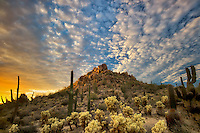 Saguaro and cholla cactus at sunset. Sonoran Desert, Arizona