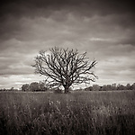 STORMY OAK -- #midwest #midwestmemoir #michaelknapstein #wisconsin #oaktree #trees #landscape #blackandwhite #B&W #monochrome #instblackandwhite #blackandwhiteart #flair_bw #blackandwhite_perfection #motherfstop #wisconsin #blackandwhiteisworththefight #bnw_captures #bwphotography #myfeatureshoot  #fineartphotography #americanmidwest #squaremag #lensculture