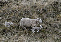 Germany, North Sea Island Sylt, sheep with lamb in grasslands