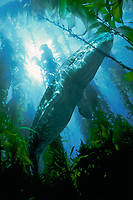 gray whale, Eschrichtius robustus, juvenile in kelp forest, California, USA, East Pacific Ocean (dc) (c)