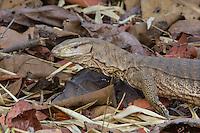 Common Indian Monitor in Tadoba Andhari Reserve, Maharashtra, India