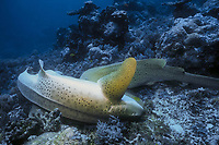 zebra shark, Stegostoma fasciatum, just before mating, Palau, Micronesia, Pacific Ocean