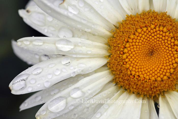 Dew Drops on Daisy  #F20