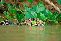 Jaguar (Panthera onca) swims in the river, Pantanal, Mato Grosso, Brazil, South America