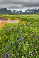 Field of wild iris wildflowers in Katmai National Park along Alaska's southwest coast of the Alaska Peninsula, Aleutian mountain range in the distance.