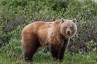 Grizzly Bear (Ursus arctos) among subalpine willows.  Banff National Park, Alberta Canada.  June.