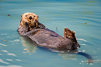 sea otter, Enhydra lutris kenyoni ( Endangered Species ), Valdez, Alaska ( Prince William Sound )