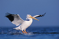 American White Pelican, Pelecanus erythrorhynchos, adult in flight landing, Rockport, Texas, USA