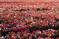 Flower fields in Lompoc, CA
