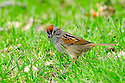 01089-001.14 Swamp Sparrow is searching for insects or seeds on ground. Food, feed, survive, marsh.