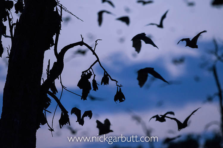 Straw-coloured Fruit Bats (Eidolon helvum) returning to their daytime roost pre-dawn (before sunrise). Kasanka National Park, Zambia.