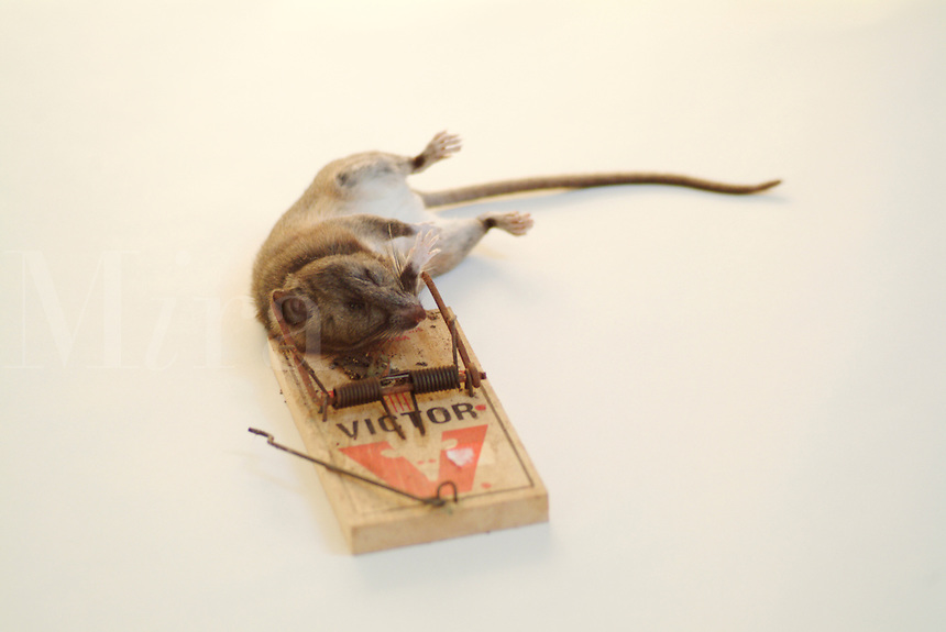 A dead Dusky-Footed Woodrat killed by a rat trap. PR