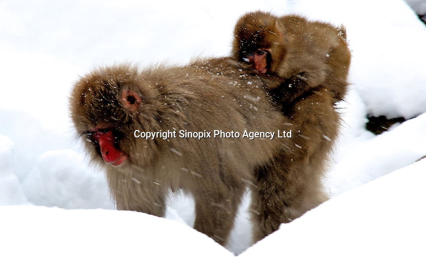 Japanese macaques and it's baby, a.k.a. Snow Monkeys,  in the driving snow Jigokudani (Hell Valley) in Nagano Prefecture, Japan. Japanese snow monkeys live in extreme conditions where winter temperatures can drop to -20 c, and they are unique in taking hot bath, known as an Onsen..28 Jan 2011