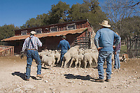 Worker shearing Sheep, Hill Country, Texas, USA