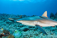 Two species of sharks are pictured here in the same frame. A gray reef shark, Carcharhinus amblyrhynchos, is in the foreground with a whitetip reef shark, Triaenodon obesus, behind it. Mana Island, Fiji.