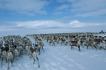 A moving stream of reindeers is coming forward in the snow as a simmering wave. ?When the herd has decided to leave his winter forests to join back the tablelands of the mountains, nothing can hold them back? says Lennart..Reindeer migration from Gallivare to the national parks of  Sarek and Stora Sjôfallet, 200 km west. Lapland, Sapmi, north of Sweden..