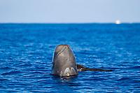 Short finned pilot whale, Globicephala macrorhynchus, spyhopping, showing cookiecutter shark bite (cookie cutter shark) , Kona coast, Big Island, Hawaii, Pacific Ocean