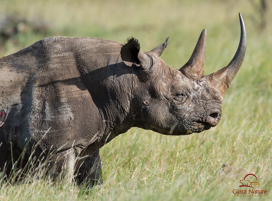 Mature male Black Rhino (Diceros bicornis), an endangered species, Lewa