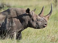 Mature male Black Rhino (Diceros bicornis), an endangered species, Lewa