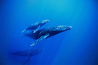 humpback whale, Megaptera novaeangliae, mother, calf and escort, Hawaii, USA, Pacific Ocean