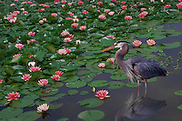 Tricolor or Louisiana Heron, Egretta tricolor, standing among blooming pink Nymphaeaceae water lilies with frog, midwest USA