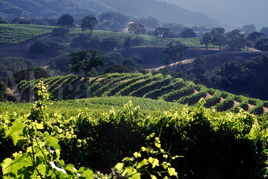 WINE GRAPE VINEYARD - JOULLIAN VINEYARDS - CARMEL VALLEY, CALIFORNIA