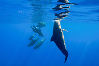 pod of short-finned pilot whales, Globicephala macrorhynchus, with inquisitive female hanging vertically in foreground, Kona Coast, Big Island, Hawaii, USA, Pacific Ocean