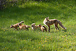 A mother red fox stands in a meadow in Wyoming as her kits run and play.