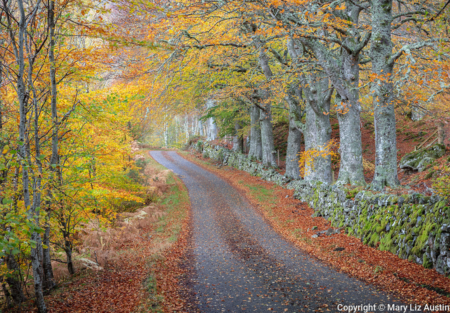 Western Highlands, Scotland: Autumn beech trees and stone wall along a single track road
